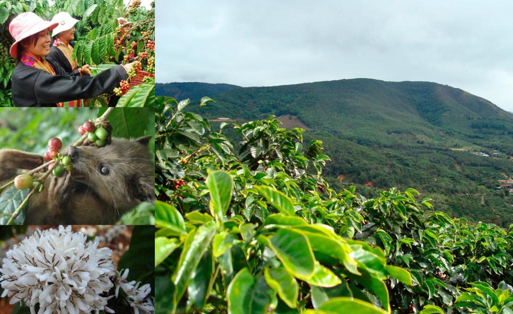 кофейные плантации во Вьетнаме