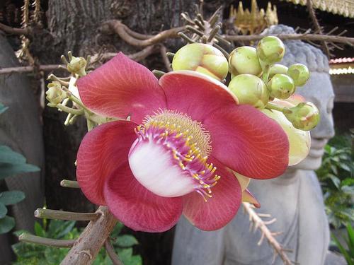 цветок робусты