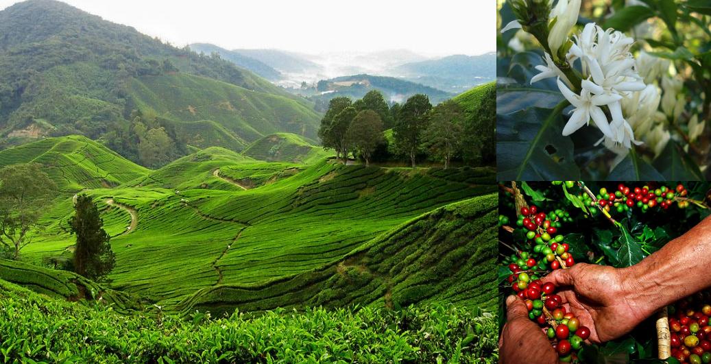 кофейные плантации в Камбоджи