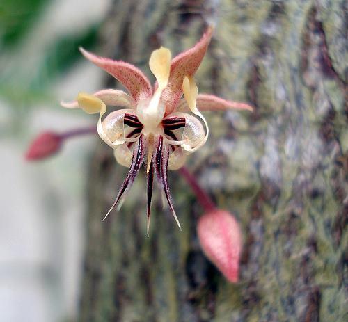 цвет шоколадного дерева
