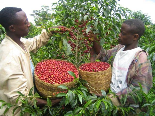 выращивания кофе