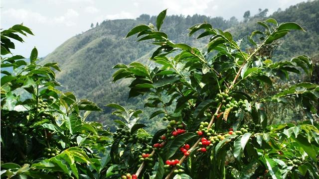 производство кофе